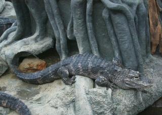 Fichier:Chinese alligator-alligator de Chine (Alligator sinensis).jpg