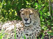 Lying cheetah-9708.jpg