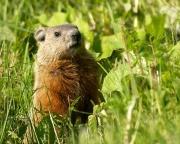 Erea marmotte-9699.jpg