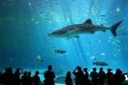 Requin baleine-Georgia Aquarium.jpg