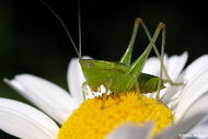 Grasshopper on flower-8111.jpg