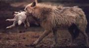 Loup.d'Abyssinnie qui mange.jpg