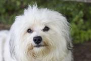 Bichon havanais chien-3754.jpg