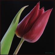 Tulipe-4289.jpg