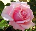 Rose de jardin-3508.jpg