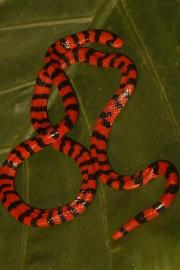 Faux-serpent corail.jpg