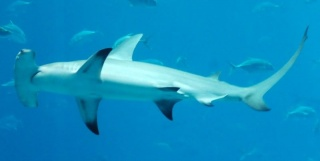 Fichier:Grand requin-marteau (Sphyrna mokarran).jpg